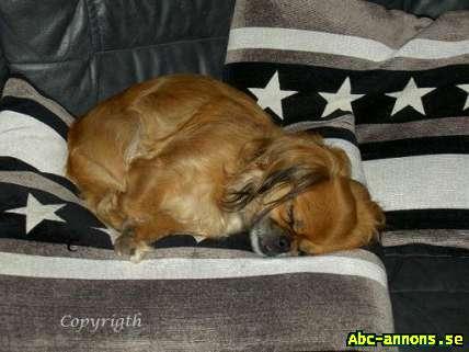 ChihuahuaTibetans Spaniel Tik Hundar & tillbehör Abc