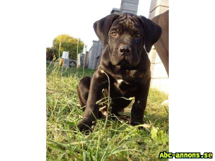 Cane Corso - beautiful puppies with pedigree - Övriga Utlandet, Tjeckien - Breeding station offers Cane Corso puppies with pedigree, in colors black, black brindle, blue brindle, red with black mask, after excellent parents, typical representatives of the breed. Puppies have nice balanced temperament - Övriga Utlandet, Tjeckien