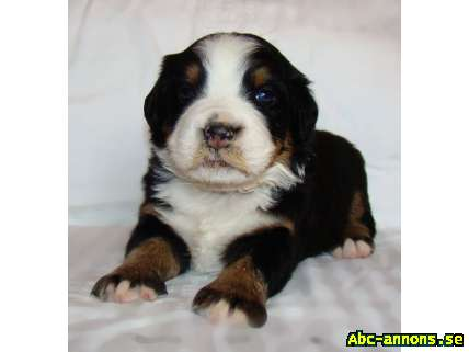 Bernese Mountain Dog kennel offers puppies FCI reg.