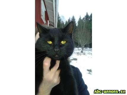 Alfons söker nytt hem - Västra Götaland, Vårgårda - Alfons trivs inte tillsammans med andra katter och söker därför ett nytt hem. Alfons är en mycket tillgiven, kastrerad hankatt på 2 år. Han helsvart med vackra ögon. Han är uppvuxen på landet och van att vara ute m - Västra Götaland, Vårgårda