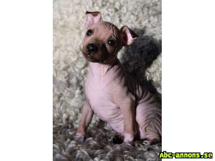 American Hairless Terrier valpar nakenhund
