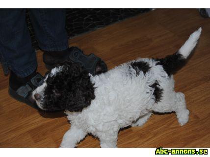 tryffelhund