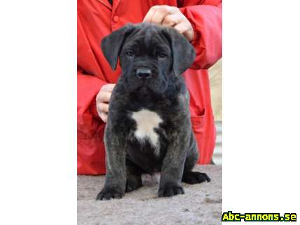 Cane corso - stunning pedigree puppies - Övriga Utlandet, Tjeckien - We offer promissing puppy males. F: Ch. Slovakia Percy Atison HD/A (Firehorse G´Akua X Int.Ch., Ch.At,Lux,Sk,Cz,Pl. Dominika Atison) M: Sofie Atison HD/B (Quintus Corso for Bajerova X Int.Ch., Ch.At,Cz Gerta Atison) - offspri - Övriga Utlandet, Tjeckien