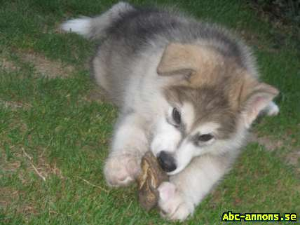 Alaskan Malamute with Pedigree, male 12 weeks old, for ...
