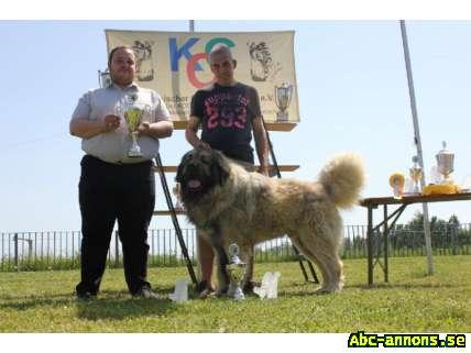 Caucasian shepherd til salg