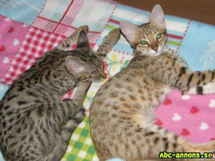 Cattery Albisavannah CZ - Savannah kittens F3C (2 girls) - Övriga Utlandet, Tjeckien - Amazing Savannah kittens F3C (2 girls) in color gold spotted and silver spotted were born 10.5.2015. Kittens are of high quality and healthy parents with blood tests for cats diseases - negative. Cats are TICA registrated, the - Övriga Utlandet, Tjeckien