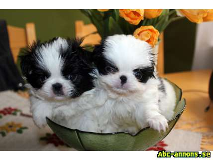japanese chin valpar hundar tillbeh r abc gratis annonser id319984. Black Bedroom Furniture Sets. Home Design Ideas